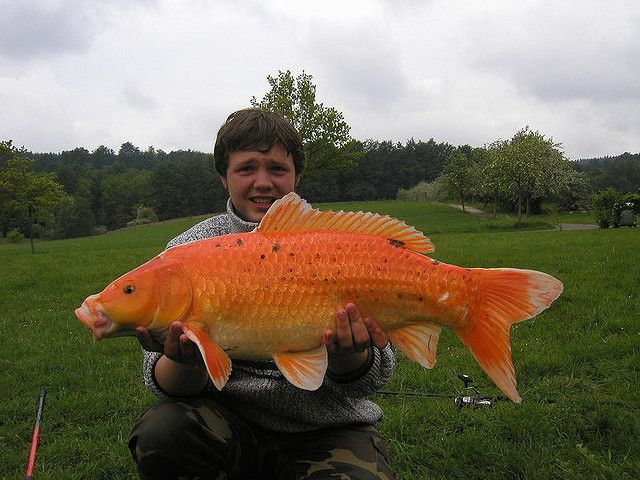 Huge koi caught on particles by via flickr for Giant coy fish