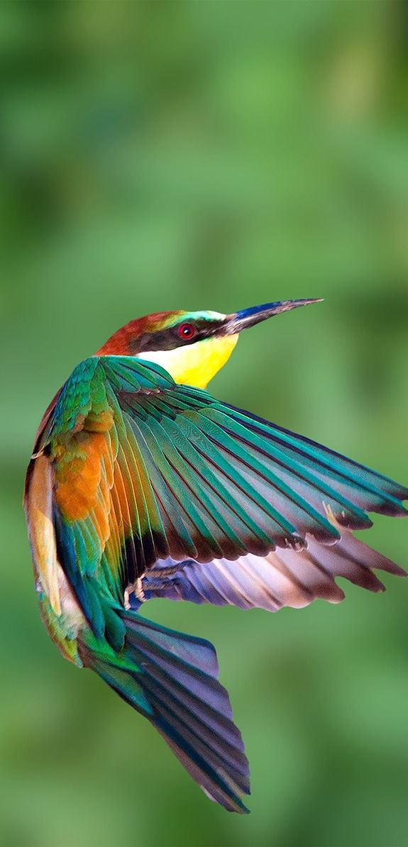 Beautiful European-bee-eater in flight