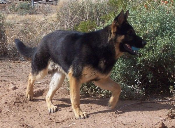 Wanted Short Haired German Shepherd Puppy Leicester Leicestershire Pets4homes German Shepherd Shepherd German Shepherd Puppies