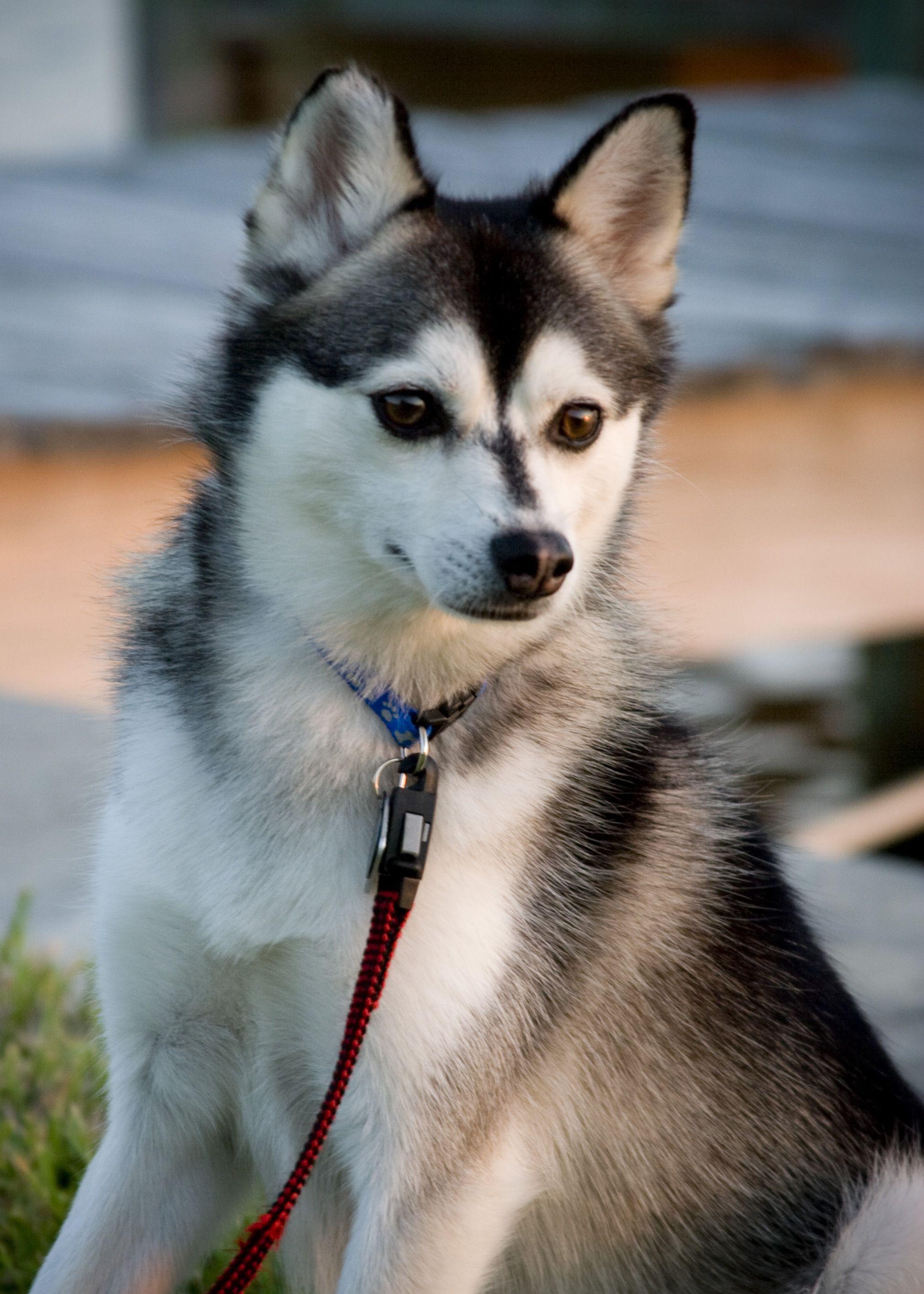 Pin By Rakesh Howalder On Rakesh Alaskan Klee Kai Dogs Best Small Dogs