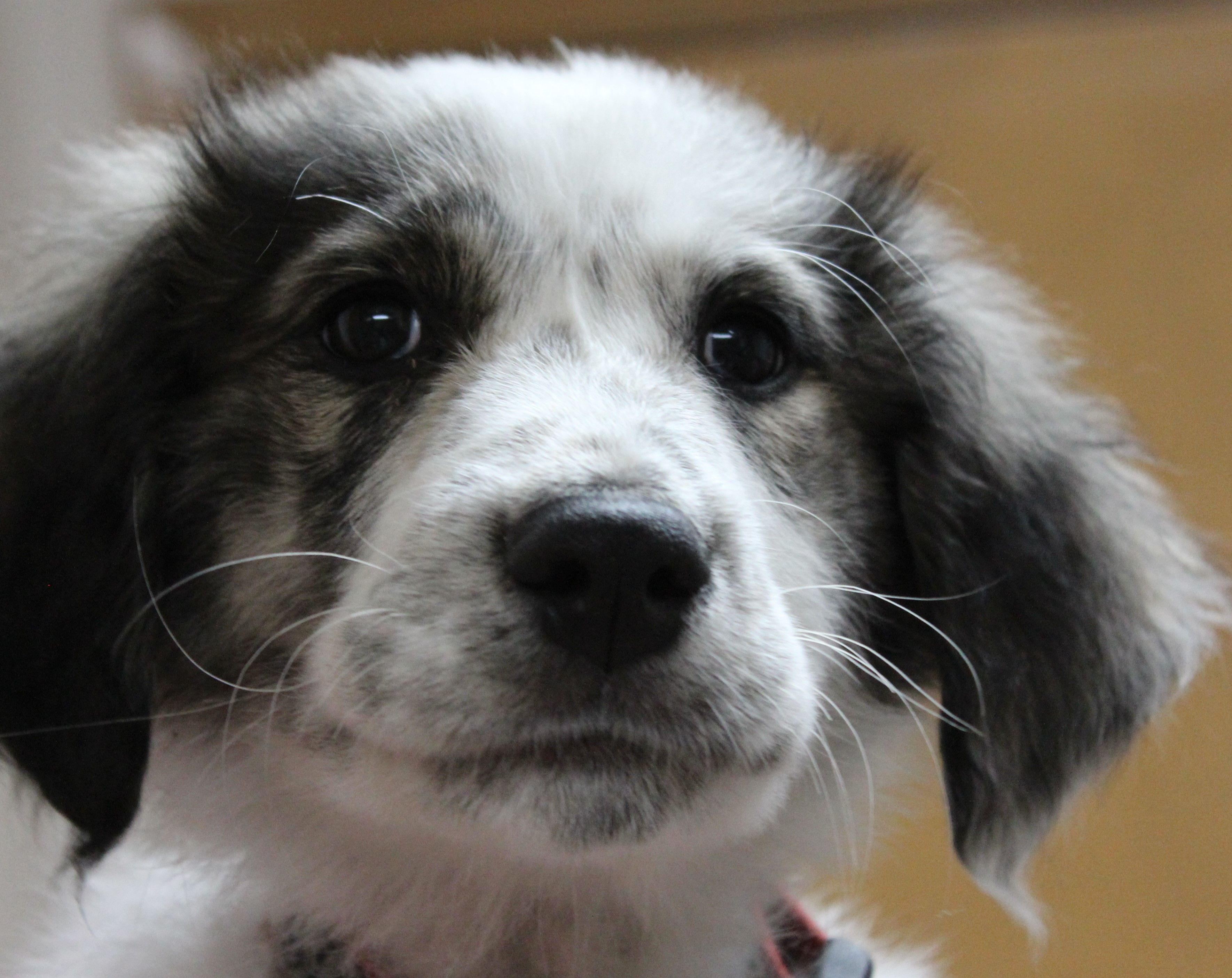 Anakin a 14 week old great pyrenees mix great pyrenees
