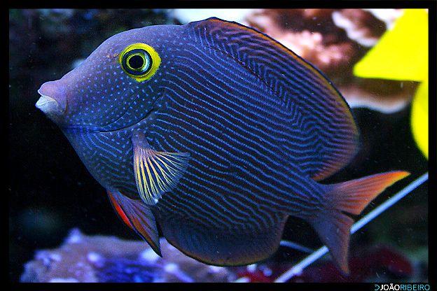 Yellow Eyed Kole Tang Saltwater Fish Tanks Beautiful Sea Creatures Marine Fish