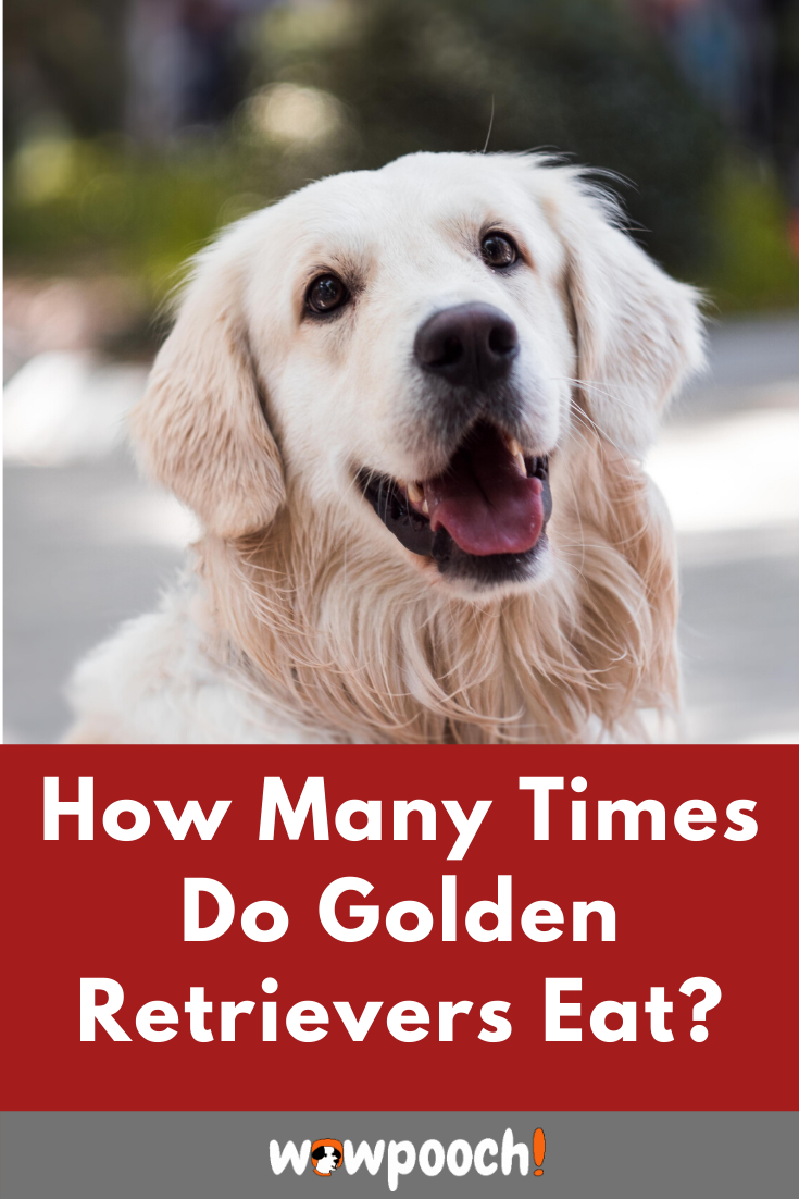 Golden Retriever Dog Breed Information, Pictures