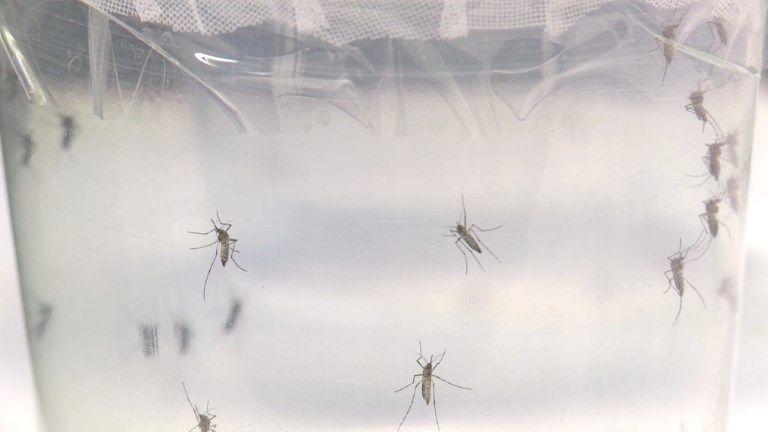 El mosquito es el animal más peligroso del mundo, portador de enfermedades que matan a un millón de personas al año. Y actualmente se relaciona el virus zika, transmitido por mosquitos, con daños en el cerebro de miles de bebés de Sudamérica.