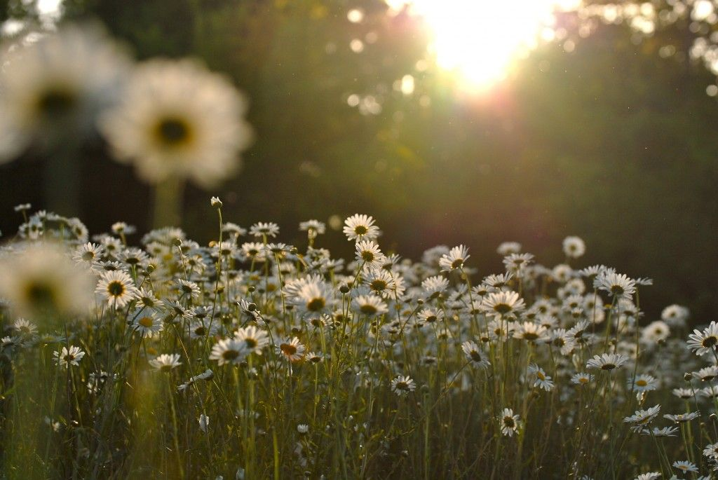 field of daisies part 2 187 finding serendipity lampb hecke