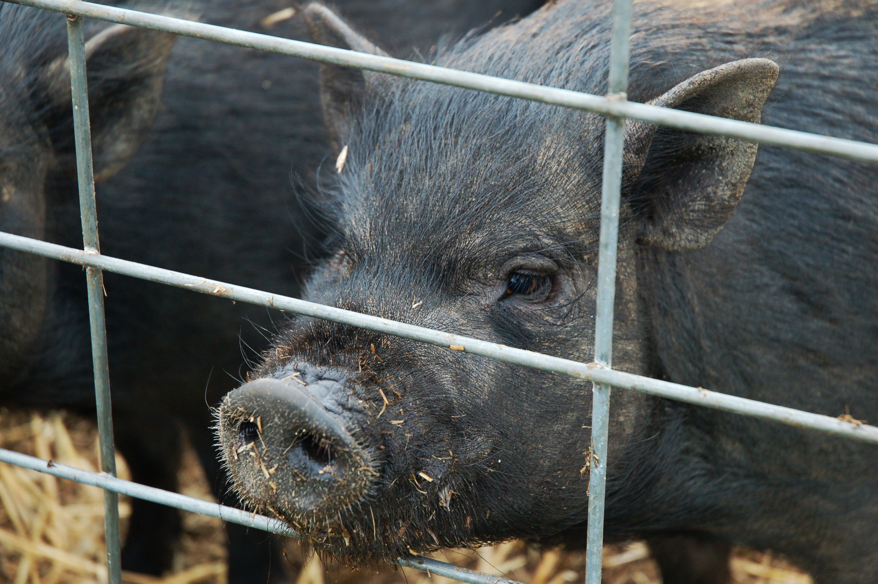 Feed the pigs at Windy Hill Orchard & Cidery in York, SC | #yorkcounty #agandarttour #agriculture #livestock #pigs #thingstodo