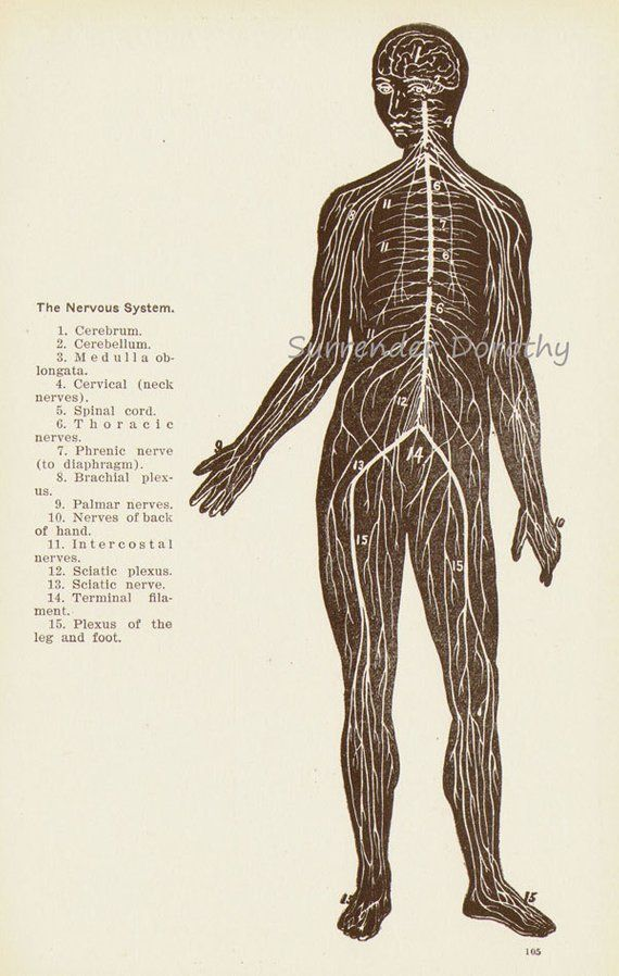 Nervous System Human Anatomy Anterior View Scientific Medical Chart
