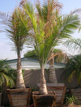majestic palm - Google Search