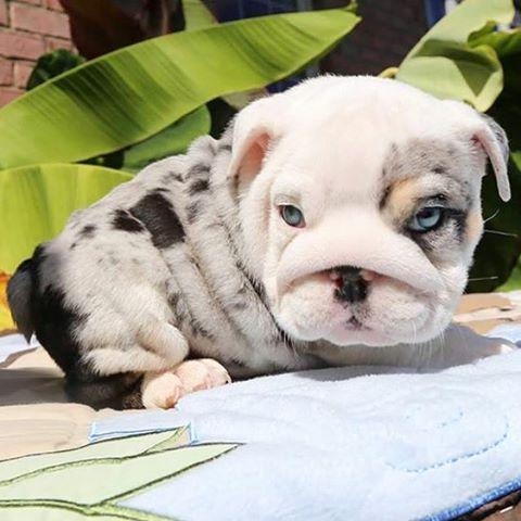Merle Bulldog Cute Baby Animals English Bulldog Puppies