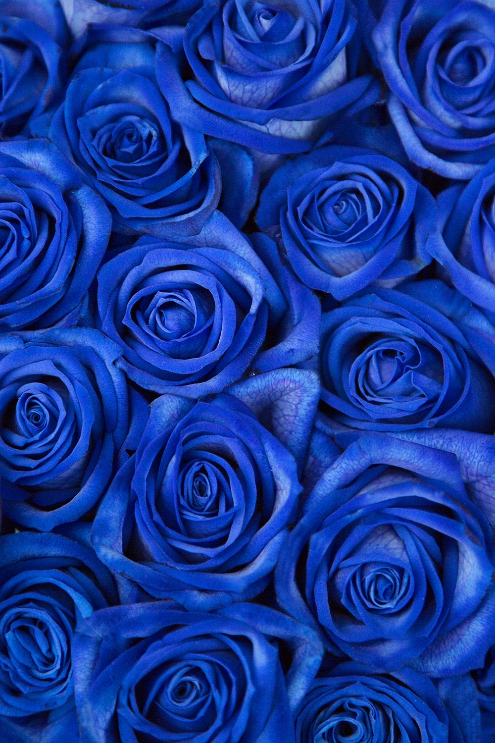 Multicoloured Roses Blue flower wallpaper, Blue roses