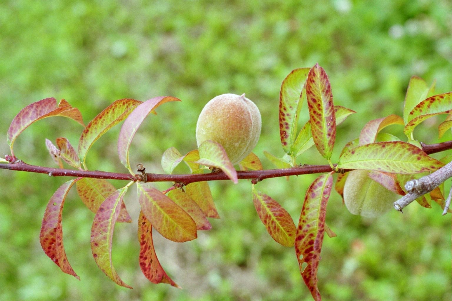 Plant Doctor Pics Of Common Diseases Of Fruit Trees Fruit Trees Fruit Peach Trees