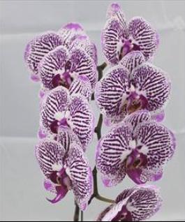 Phal Purple Stripe Phalaenopsis Orchids Klairvoyant Orchids Thrissur Kerala India Orchids Orchid Plants Phalaenopsis Orchid