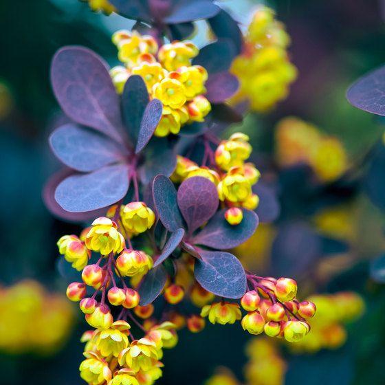 Berbéris 'Atropurpurea'- le paquet de 6   Petites fleurs ...