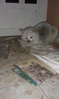 Recogida de gatos murcia