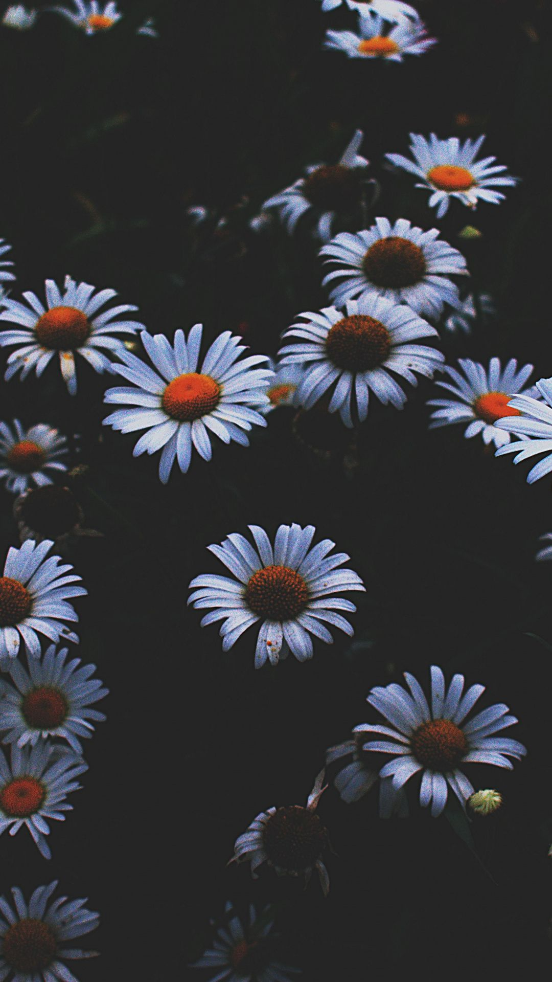 Daisy White Flowers Plants 1080x1920 Wallpaper Flower Phone Wallpaper Iphone Wallpaper Flower Wallpaper