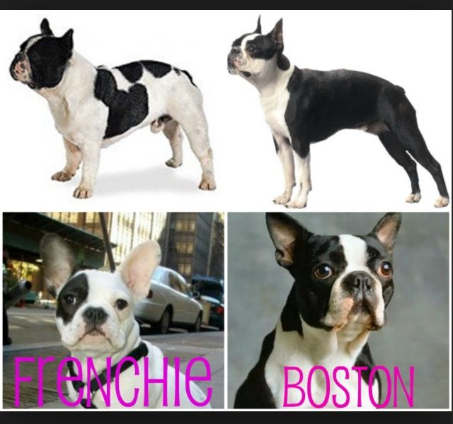 French Bulldog Vs Boston Terrier Boston Terrier Cute Animals