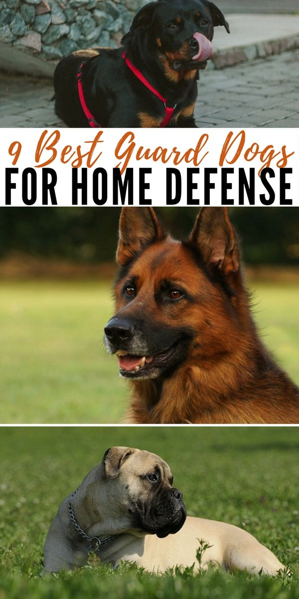9 Best Guard Dogs For Home Defense Best Guard Dogs Best Guard