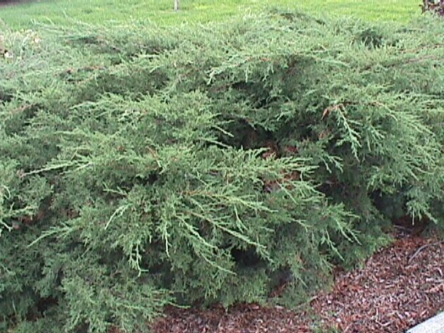 Juniperus chinensis (Montana State Univeristy College of Agriculture,Department of Plant Sciences & Plant Pathology)