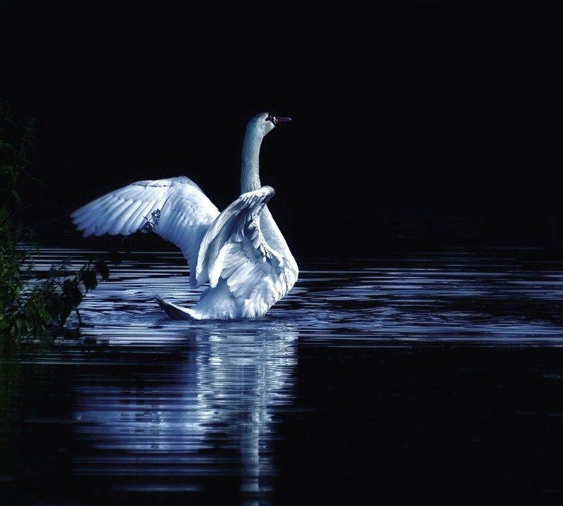Swans By Moonlight >> Swan Winter Night Moon River Swan Moonlight Night Swan