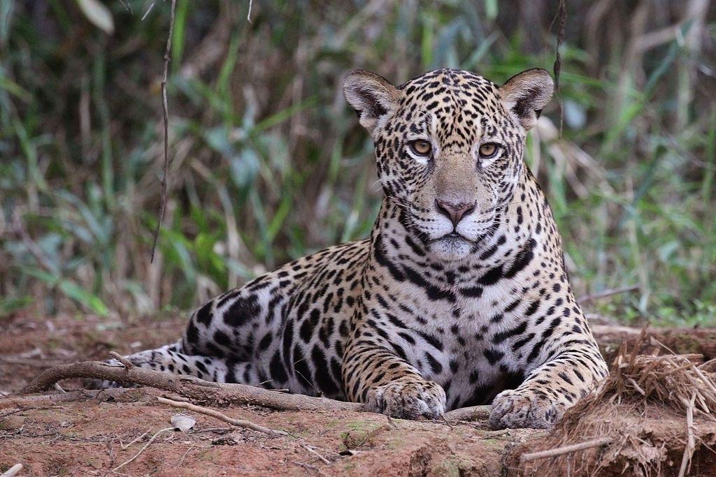 Jaguar Panthera Onca Palustris Female Piquiri River Jaguar