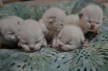 Ragtown Cattery Ragdoll Cats Ragdoll Kitten Breeder Southwestern Ontario Canada Ragdolls For Sale