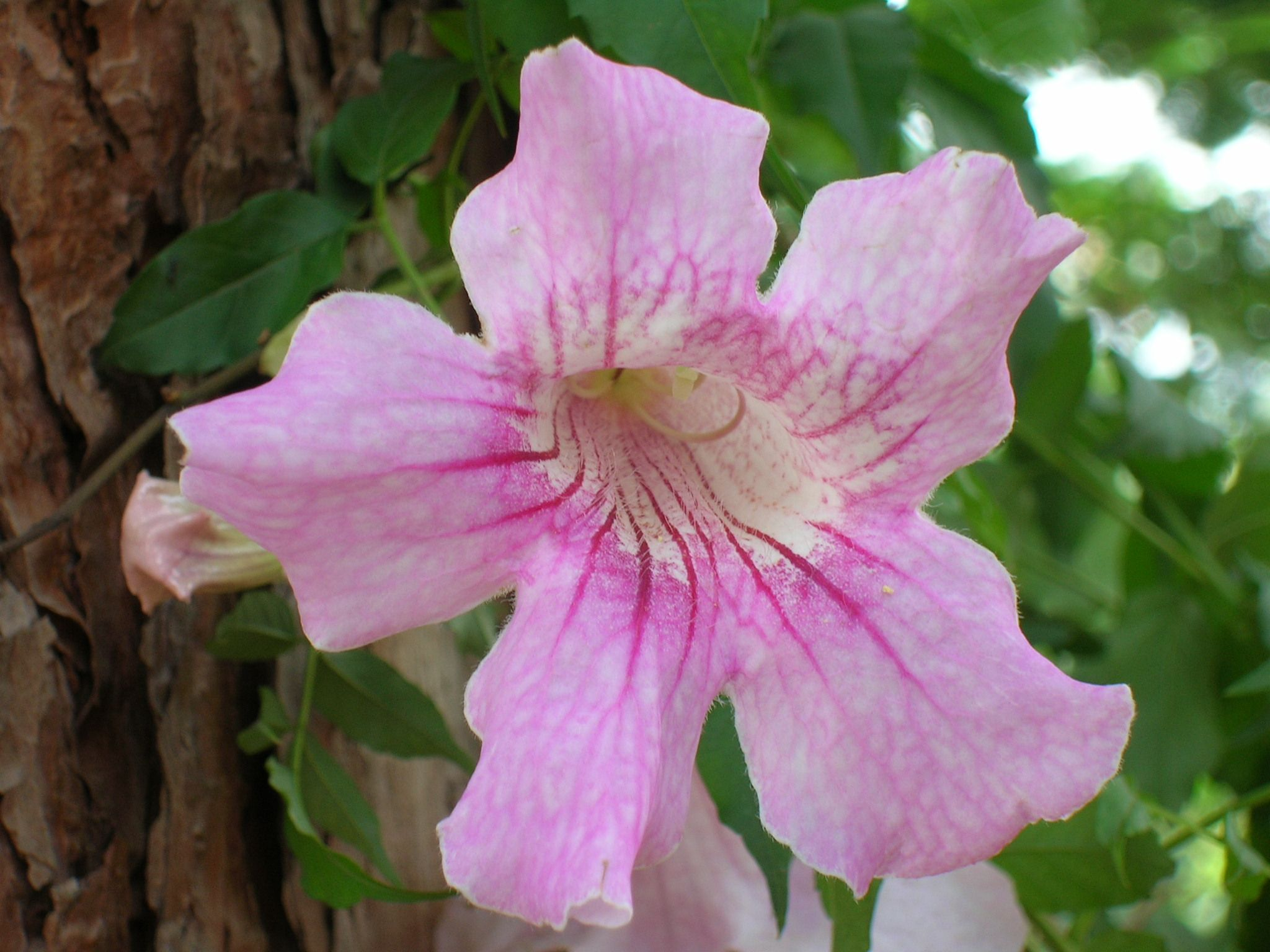 Pink Trumpet Flowers I Grew In Africa Pinterest Trumpets