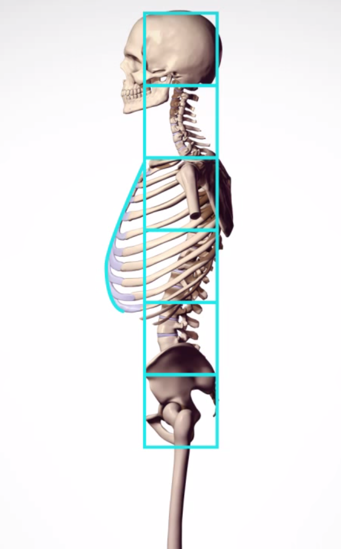 Human Proportion Sideview Skeleton Anatomy Anatomy Anatomy