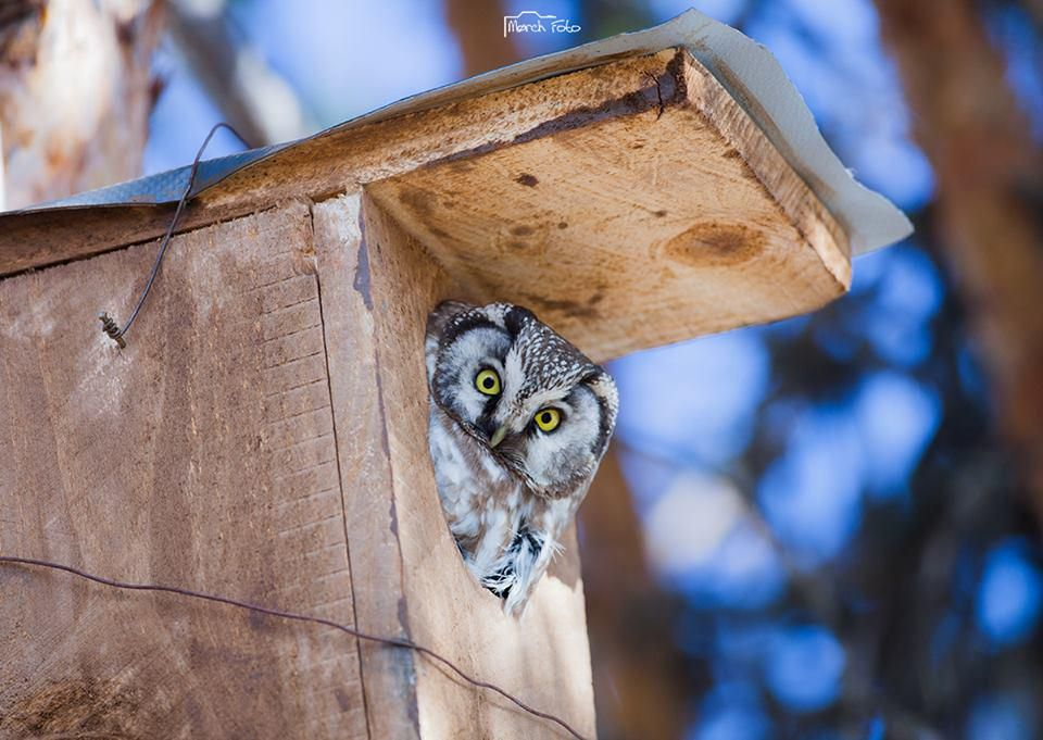 #TGIF Eh, you! Any plans for the weekend? ;-) #Norway #birds #birding #owls By Mørch Foto @Fuglevern @VisitNorway