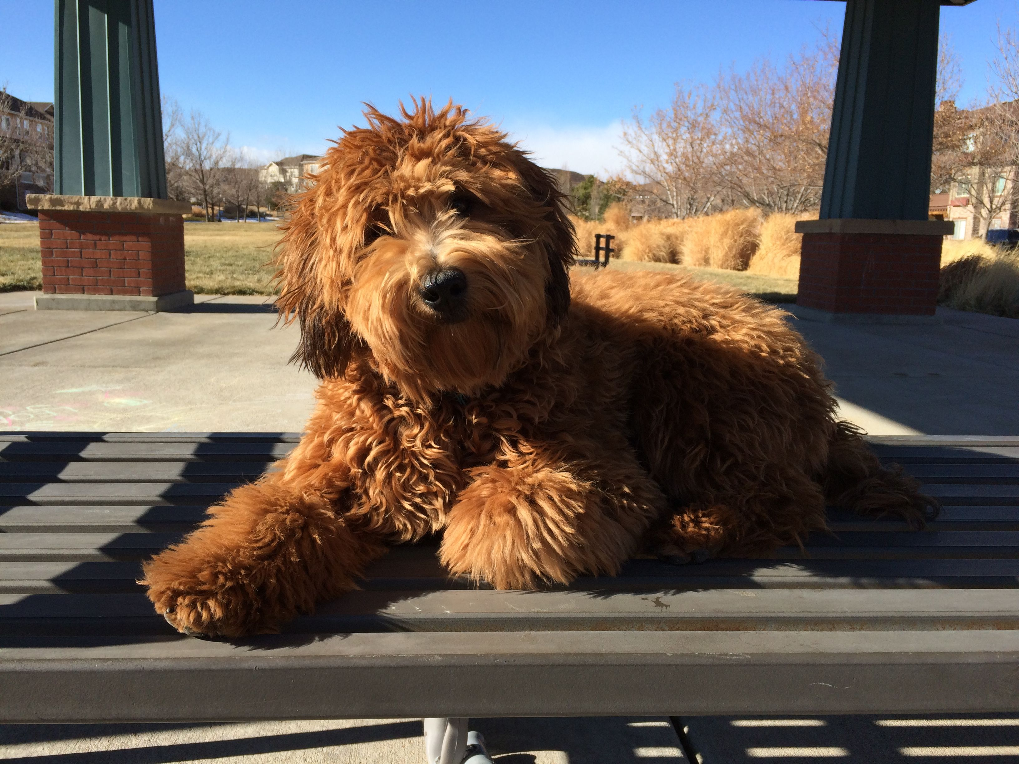 Penny- Mini Red Whoodle puppy | Love | Sheepadoodle puppy, Whoodle