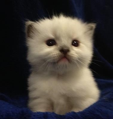 Ragdoll Kittens Kitten For Sale Kittens Cats Kittens