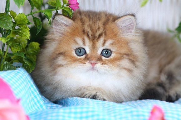 Shaded Silver Teacup Persian Kitten. Teacups are just so