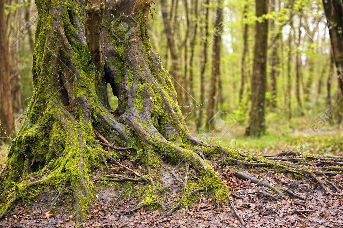Oak Tree With Roots oak tree roots - Googl...