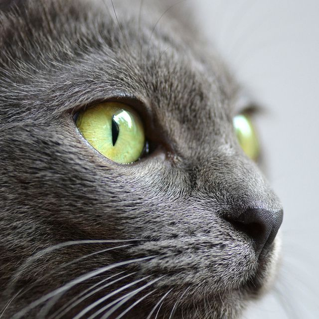 Tiny Black Nose Russian Blue Cat Russian Blue Blue Cats