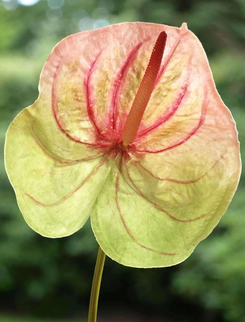anthurium | plantes et fleurs | pinterest | arrosage, plantation et