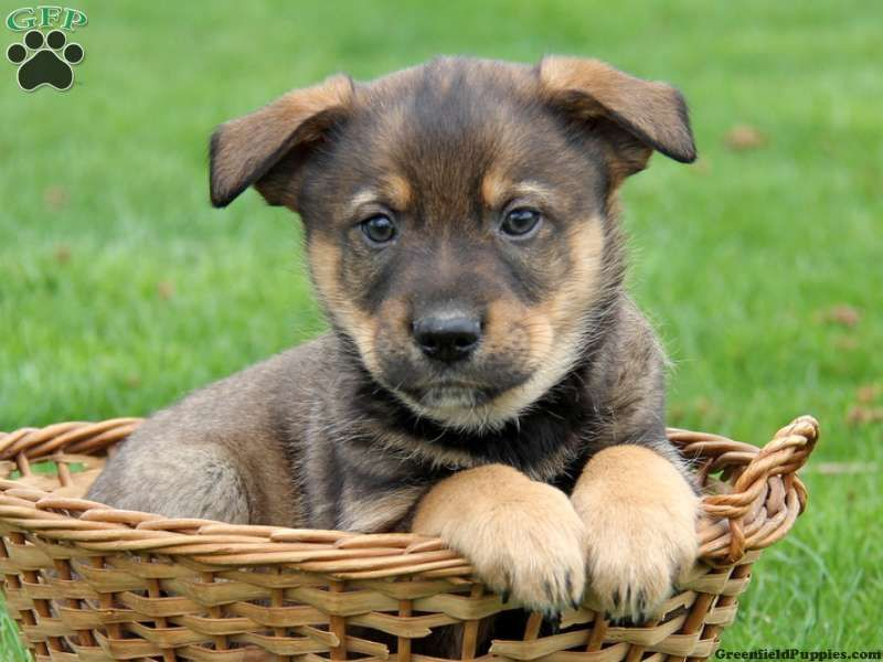 Gallery For Gt Blue Heeler Golden Retriever Mix Puppies