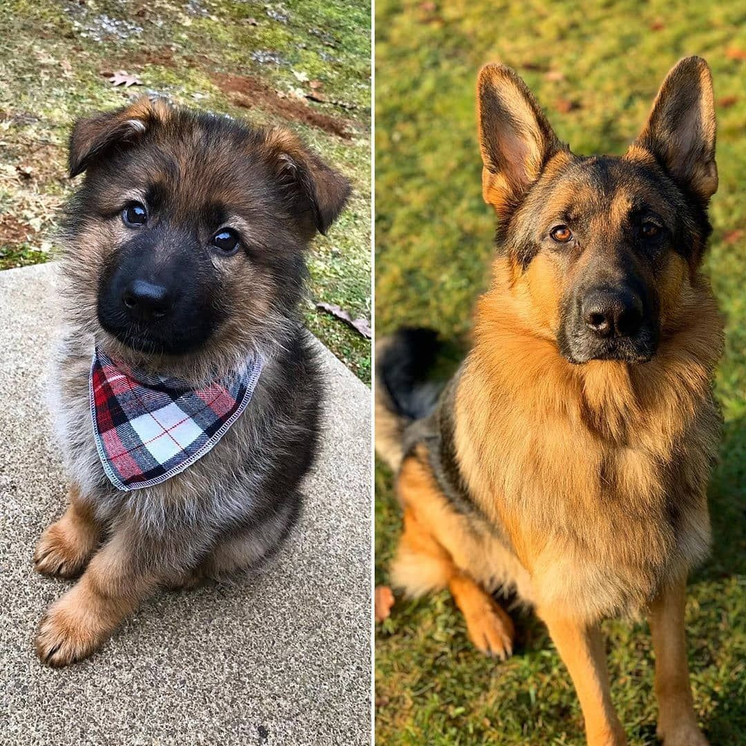 2 Months Vs 2 Years In 2020 German Shepherd Puppies Training German Shepherd Pictures German Shepherd Puppies