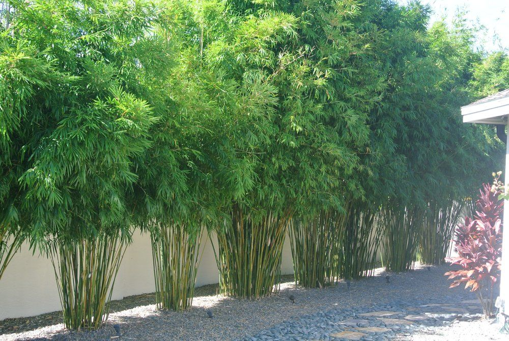 Island Bamboo Garden - Pinellas Park, FL, United States. Gorgeous Bamboo screen of B. textilis gracilis bamboo (slender weavers)