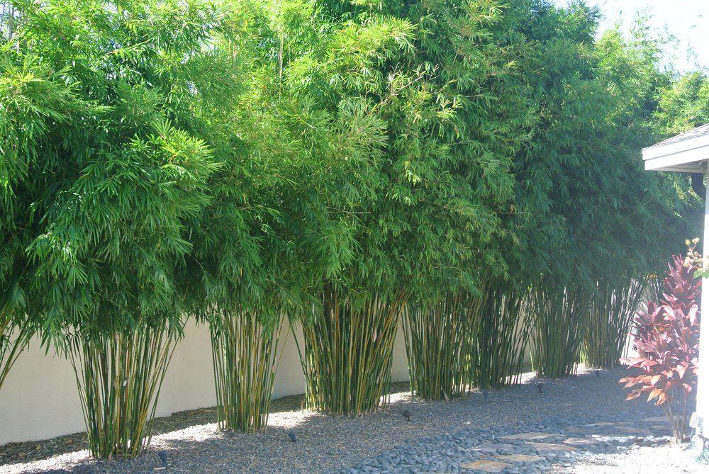 Island Bamboo Garden - Pinellas Park, FL, United States. Gorgeous Bamboo screen of B. textilis gracilis bamboo (slender weavers)