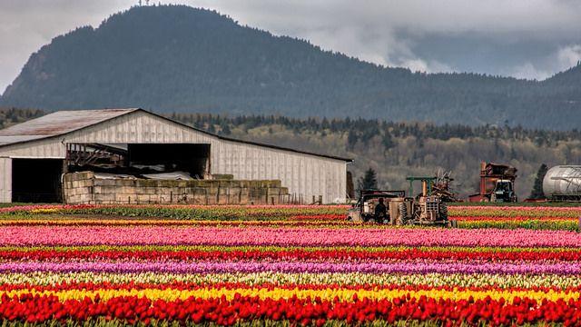 Tulip Festival, Skagit Valley, WA - Flickr - Photo Sharing!