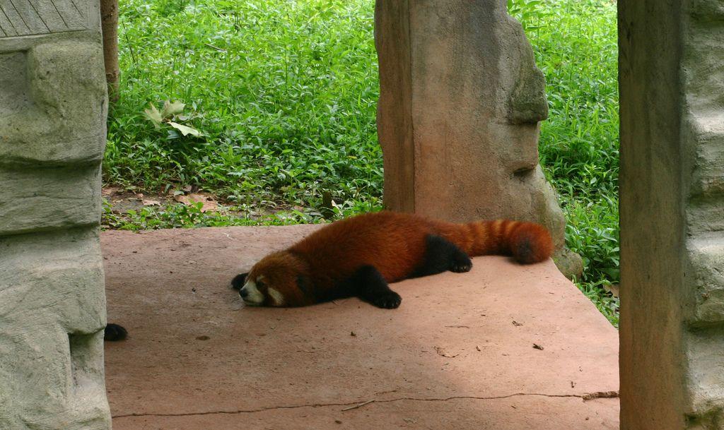 red panda anatomy Google Search Red panda, Kindness to