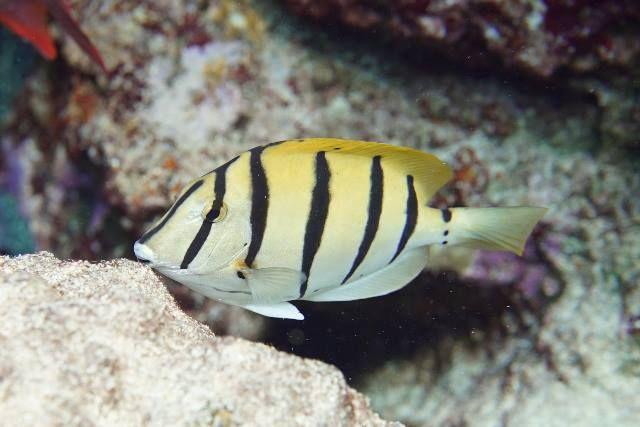 Convict Surgeonfish In 2020 Fish Pet Saltwater Aquarium Animals