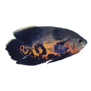 Clown Loach Petsmart Live Fish Clown Loach Pet Fish