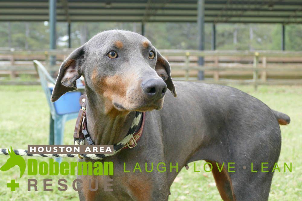 Doberman Pinscher Dog For Adoption In Cypress Tx Adn 817167 On