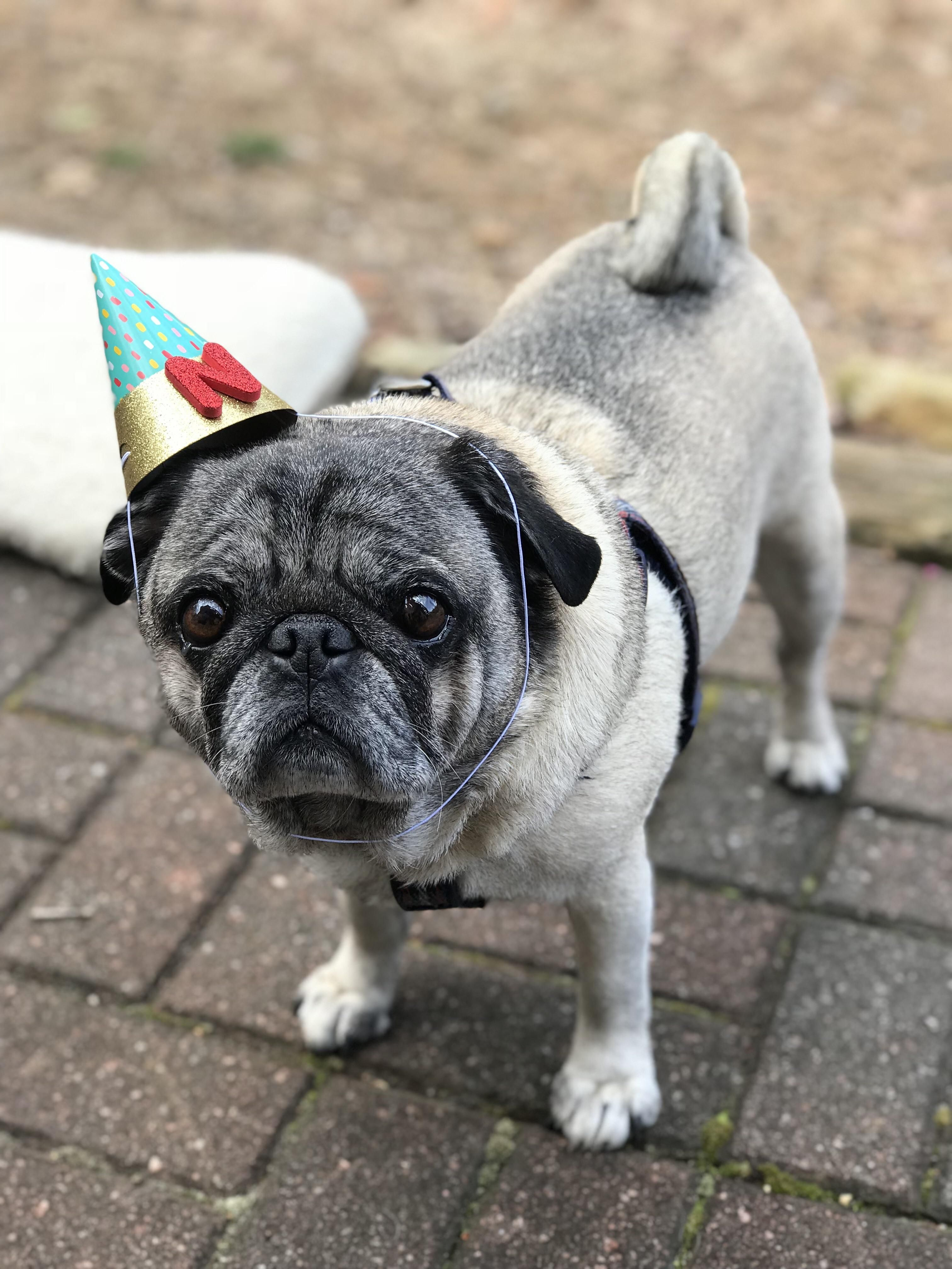 This Is Nigel At A Pug Birthday Party Dogs Dog Stuff Dog