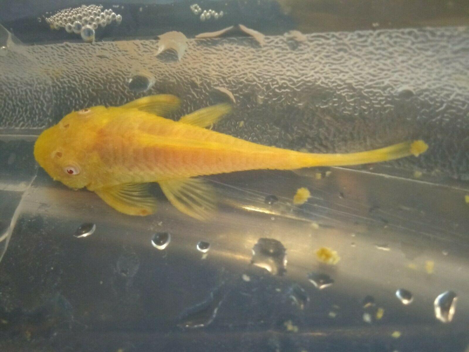 Lemon Albino Bristlenose Pleco 2 3 Sub Breeder You Will Receive One Lemon Albino Bristlenose Pleco Of 2 3 10 00 E Breeders Albino Freshwater Aquarium Fish