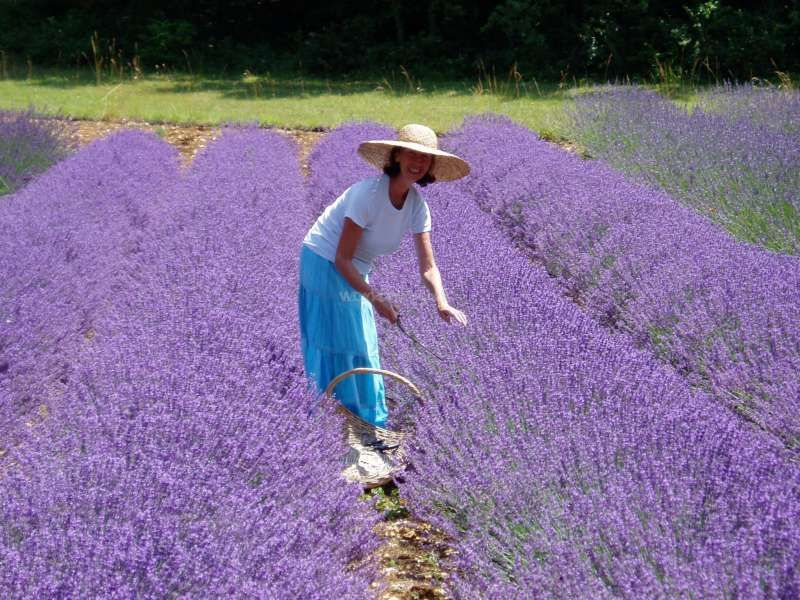 Lavender farm in the beautiful Lot valley near Toulouse