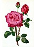 Rose Image 20