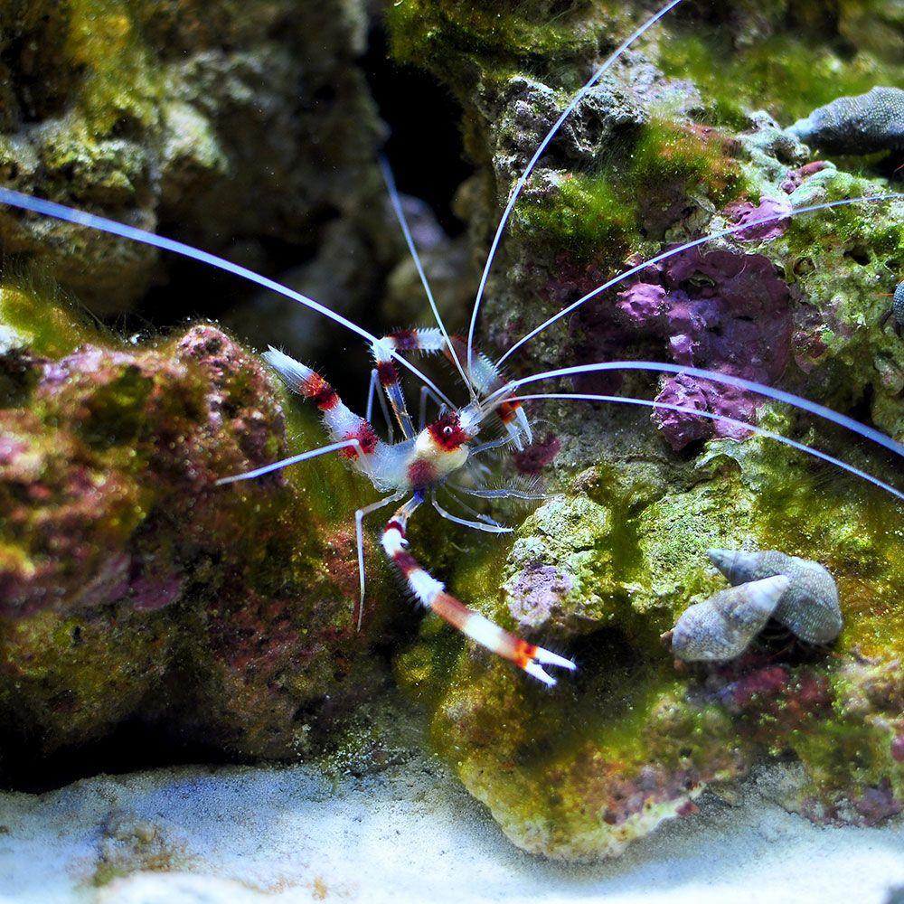 Coral Banded Shrimp Coral Banded Shrimp Sea Creature Salt Water Fish Sea Creatures Shrimp