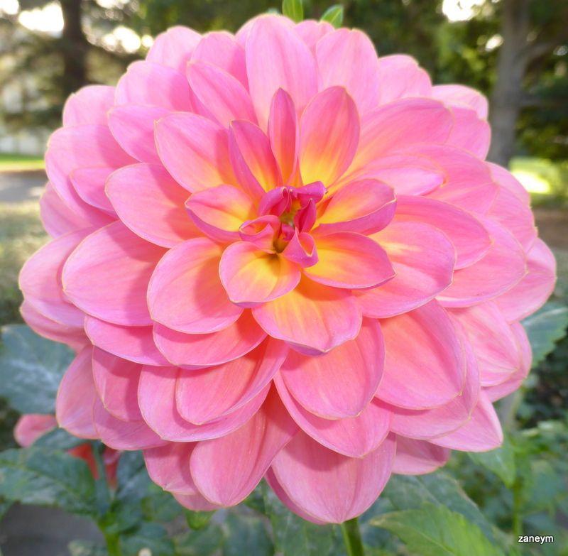 Dahlia Flowers Dahlia Flower Power