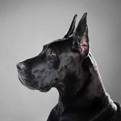 Ace Black Great Dane With Images Dane Dog Great Dane Dogs